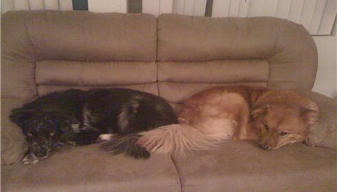 Bonnie Grant - <pre>Elvis & Max. Elvis is Australian Shepherd & Max is Golden Retriever/Chow.</pre>
