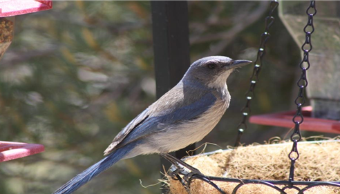 Darren Moll - <pre>Prescott area homeowners will see a number of birds visit their bird feeders.</pre>